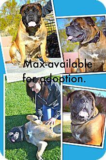 Bullmastiff Dog for adoption in Phoenix, Arizona - Maximus