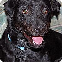 Adopt A Pet :: Brody (courtesy) - Scottsdale, AZ