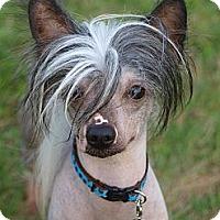 Adopt A Pet :: Pedro - hairless! - Toronto/Etobicoke/GTA, ON