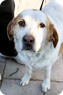 Hound (Unknown Type)/Labrador Retriever Mix Dog for adoption in Richmond, Virginia - Wilfred