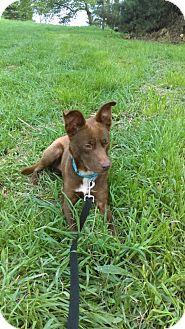 Labrador Retriever Mix Dog for adoption in South Park, Pennsylvania - Rango