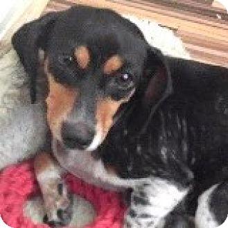 Dachshund Dog for adoption in Houston, Texas - Fenella Fastball