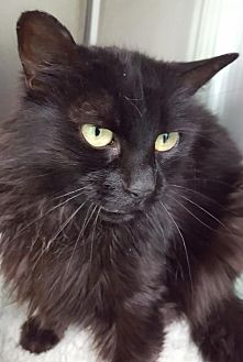 Domestic Mediumhair Cat for adoption in Auburn, California - Cora