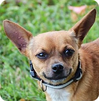 Chihuahua Mix Dog for adoption in Union City, Tennessee - Yogi