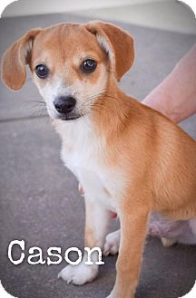 Chihuahua/Terrier (Unknown Type, Small) Mix Puppy for adoption in DFW, Texas - Cason