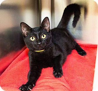Domestic Shorthair Kitten for adoption in Seville, Ohio - Steve Harvey