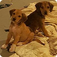 Adopt A Pet :: Sugar babies! - Blue Bell, PA