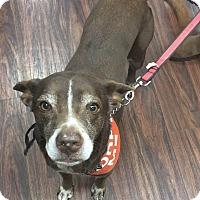 Adopt A Pet :: Coco - Garland, TX