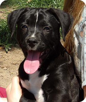 Border Collie/Shepherd (Unknown Type) Mix Puppy for adoption in Twinsburg, Ohio - Chief (8 lb) Video!