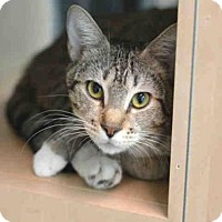 Domestic Mediumhair Cat for adoption in Fort Lauderdale, Florida - VIOLET