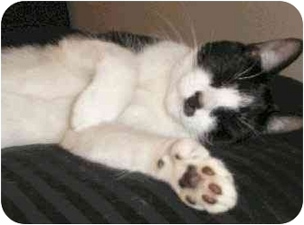 Domestic Shorthair Cat for adoption in Rolling Hills Estates, California - Milo