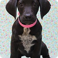 Adopt A Pet :: Tabby - Waldorf, MD