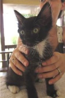 Domestic Shorthair/Domestic Shorthair Mix Cat for adoption in Schertz, Texas - Napoleon
