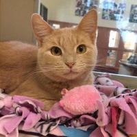 Domestic Shorthair/Domestic Shorthair Mix Cat for adoption in Rochester, Minnesota - Maeve