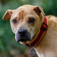 Shar Pei Mix Dog for adoption in Decatur, Georgia - JASMINE