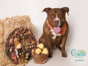 American Pit Bull Terrier Dog for adoption in Camarillo, California - CANELO