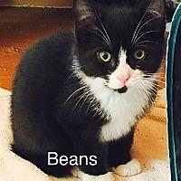 Adopt A Pet :: Beans - Southington, CT