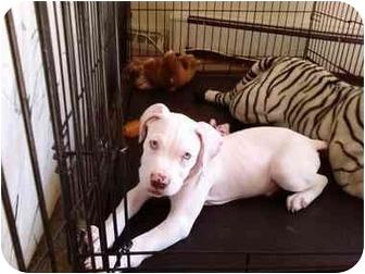 American Pit Bull Terrier Mix Puppy for adoption in Oak Lawn, Illinois - Casper