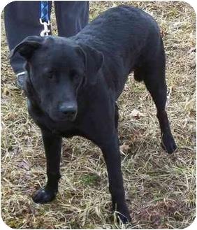 Labrador Retriever Dog for adoption in Somerset, Pennsylvania - Will