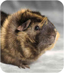 Guinea Pig for adoption in Chicago, Illinois - Arnold