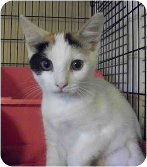 Domestic Shorthair Kitten for adoption in Chattanooga, Tennessee - Sprite