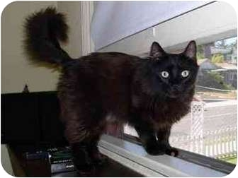 Domestic Longhair Cat for adoption in San Diego/North County, California - Clovis