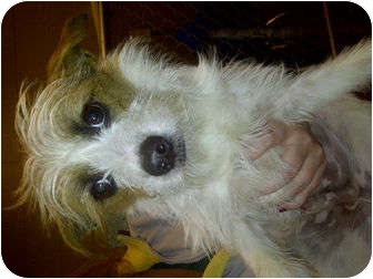 Shih Tzu/Terrier (Unknown Type, Small) Mix Dog for adoption in Lyman, South Carolina - Dexter