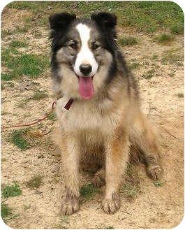Australian Shepherd/Collie Mix Dog for adoption in Staunton, Virginia - Jill (URGENT)