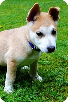 Husky/Shepherd (Unknown Type) Mix Puppy for adoption in Surrey, British Columbia - Mila