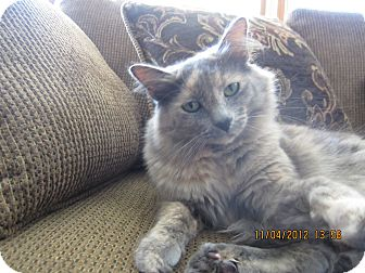 Domestic Longhair Cat for adoption in Jeffersonville, Indiana - Missy