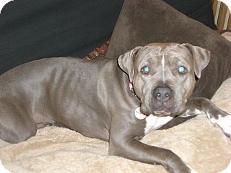 American Pit Bull Terrier Mix Dog for adoption in Bellingham, Washington - Nena