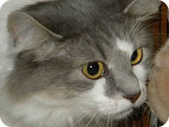 Maine Coon Cat for adoption in Stafford, Virginia - Duchess