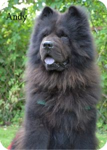 Chow Chow Dog for adoption in Warren, Pennsylvania - Andy