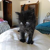 Adopt A Pet :: Baloo - Phoenix, AZ