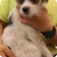 Adopt A Pet :: Paul - Phoenix, AZ