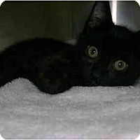 Adopt A Pet :: Shadow - Mission, BC