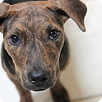 Adopt A Pet :: Lou Lou - Reisterstown, MD