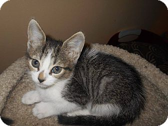 Domestic Shorthair Kitten for adoption in Arlington/Ft Worth, Texas - Leia