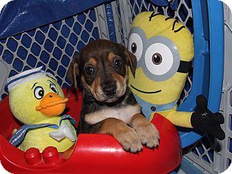 German Shepherd Dog/Beagle Mix Puppy for adoption in waterbury, Connecticut - Nicole