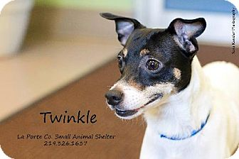Rat Terrier Mix Dog for adoption in La Porte, Indiana - Twinkle