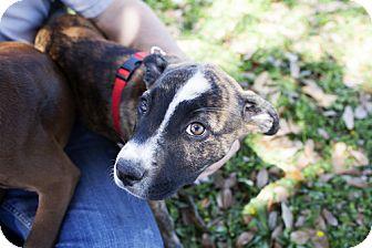 Labrador Retriever/Shepherd (Unknown Type) Mix Puppy for adoption in Houston, Texas - June-Bug