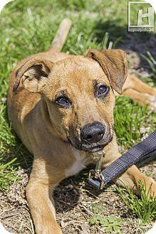 Dutch Shepherd/Labrador Retriever Mix Puppy for adoption in Baltimore, Maryland - Nubbins