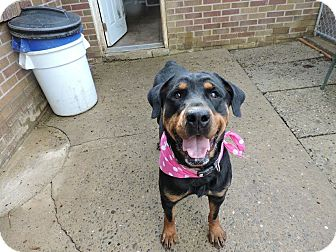 Rottweiler Mix Dog for adoption in South Park, Pennsylvania - Rhonda