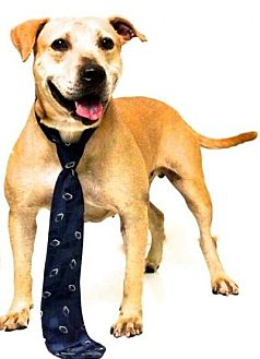 Black Mouth Cur Mix Dog for adoption in Sebastian, Florida - Maddox