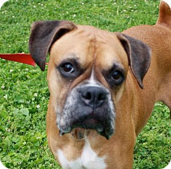 Boxer Dog for adoption in Brentwood, Tennessee - Delilah