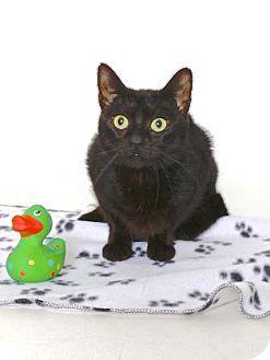 Domestic Shorthair Cat for adoption in Gloucester, Virginia - MICHAELA