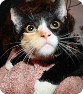 Domestic Shorthair Kitten for adoption in Salem, Massachusetts - Stella