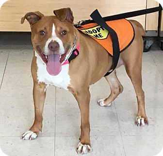 American Pit Bull Terrier Dog for adoption in Cherry Valley, New York - Valentina