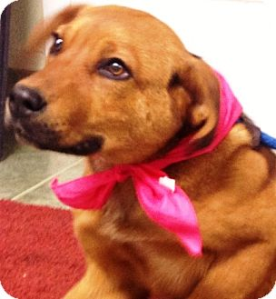 Shepherd (Unknown Type) Mix Puppy for adoption in Ada, Oklahoma - MOXIE