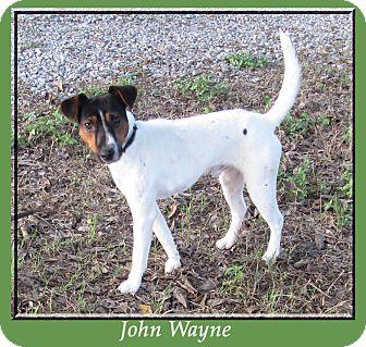 Jack Russell Terrier Mix Dog for adoption in Hillsboro, Texas - John Wayne